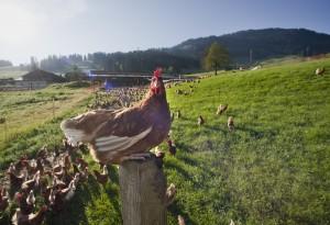Hühner aus Gstaad
